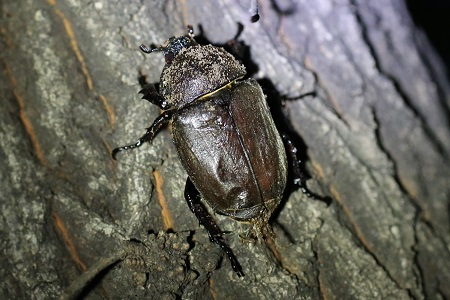 Japanese rhinoceros beetle (female)