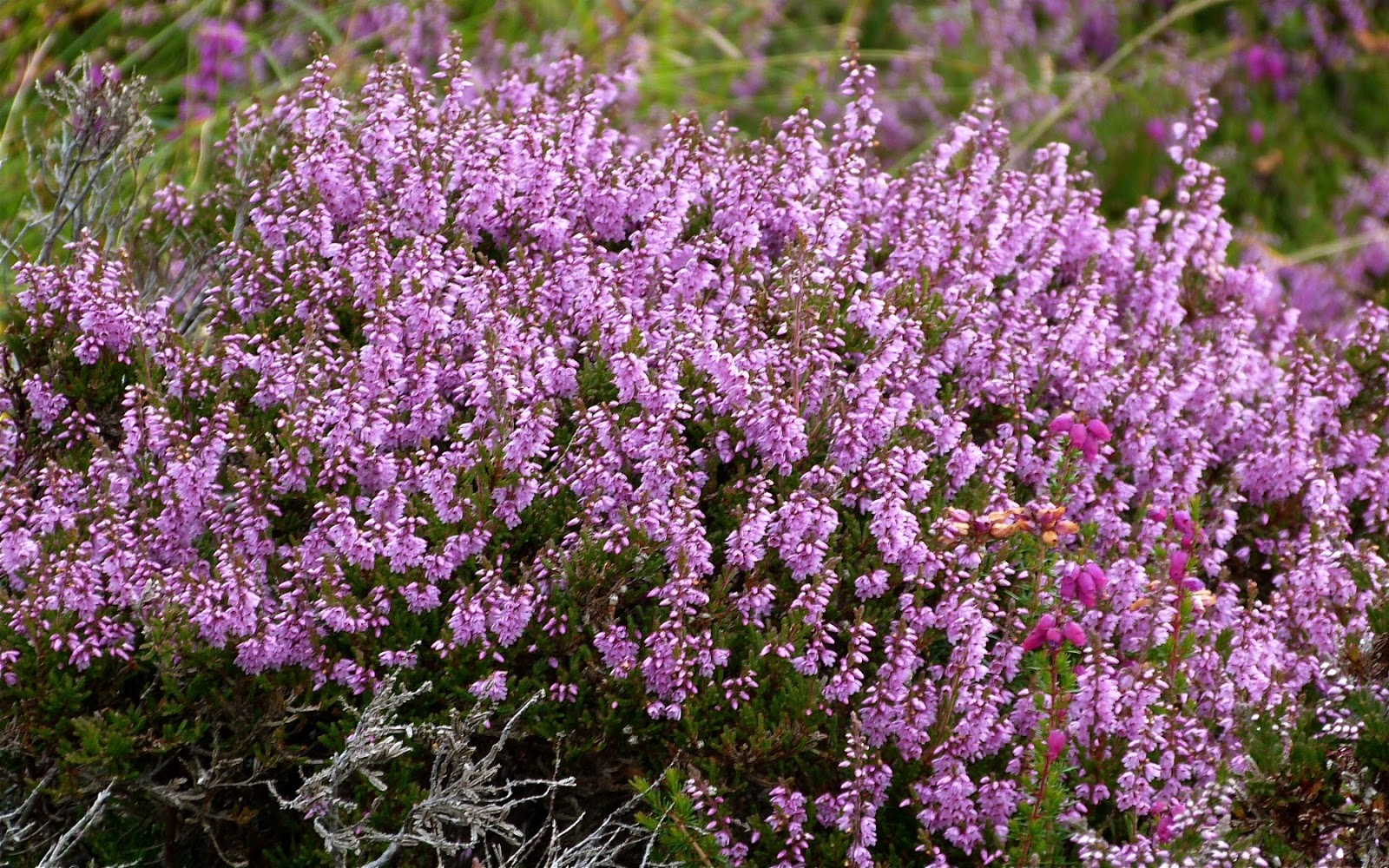 A Kilchoan Diary Another White Heather