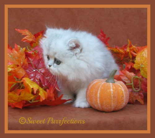 Baby Brulee started watching for the Great Pumpkin Kitty at a very early age.