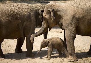 Newborn Asian elephant calf