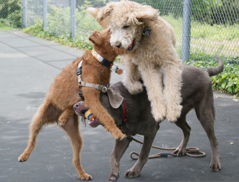 The Labradoolde- Labrador and Poodle