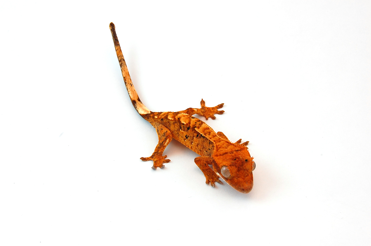 Crested Gecko Why Does Behavior