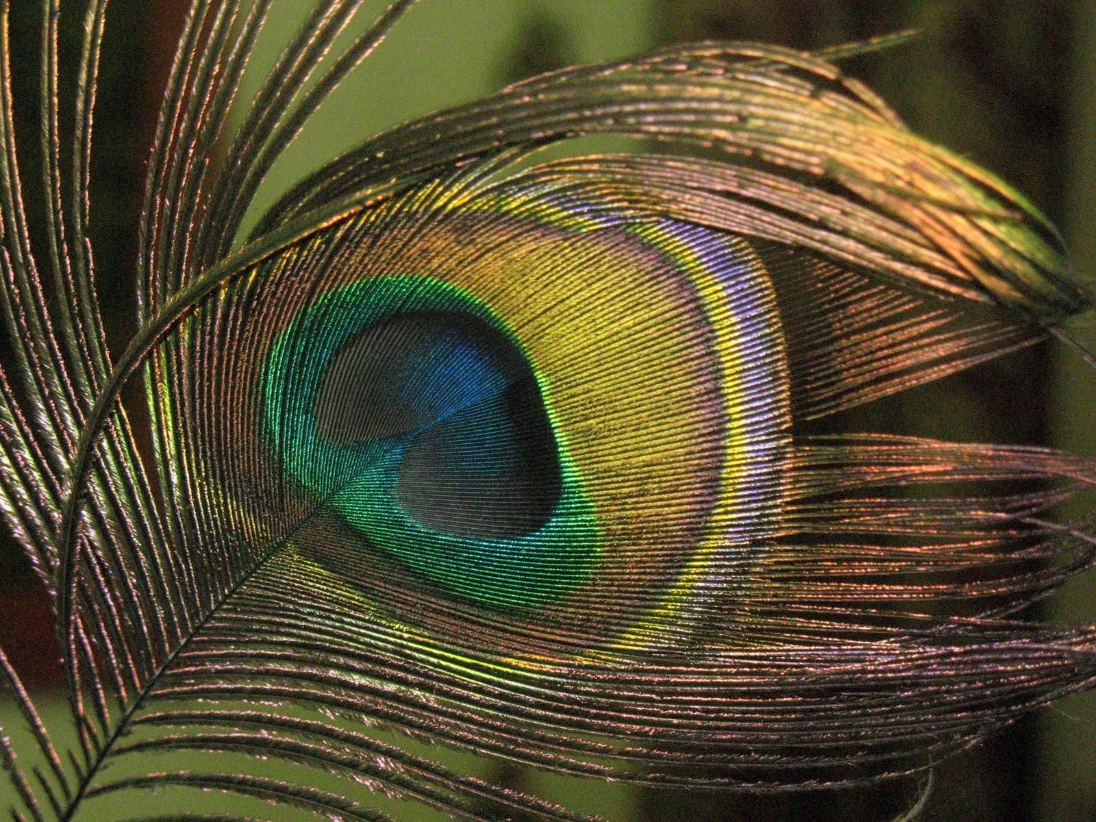 Walpaper Burung Merak Hd