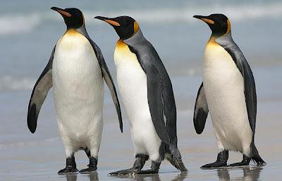 El pingüino es un ave, no un pájaro