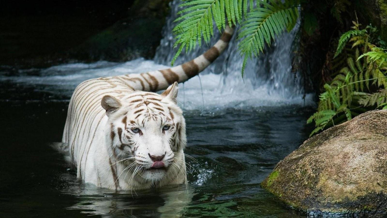 White Tiger Desktop Wallpaper HD 1080p