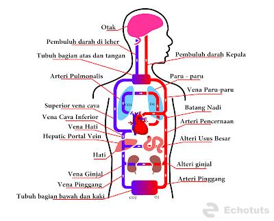 Proses peredaran darah manusia - echotuts