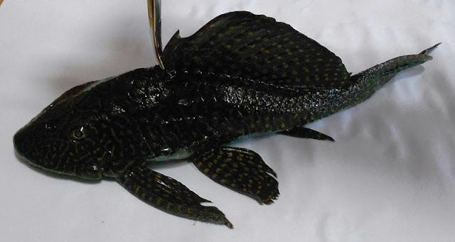 Καστοριά: Αλιεύθηκε ψάρι Αμαζονίου στη Λίμνη Ορεστιάδα