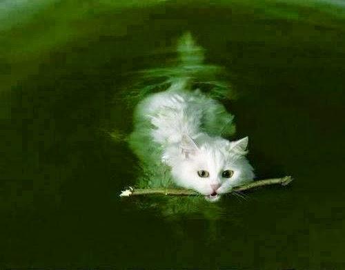 gato-agua-nadar-creencias-pnl-bioneuroemocion-neuroemocion-verfractal-sanacion-biodescodificacion