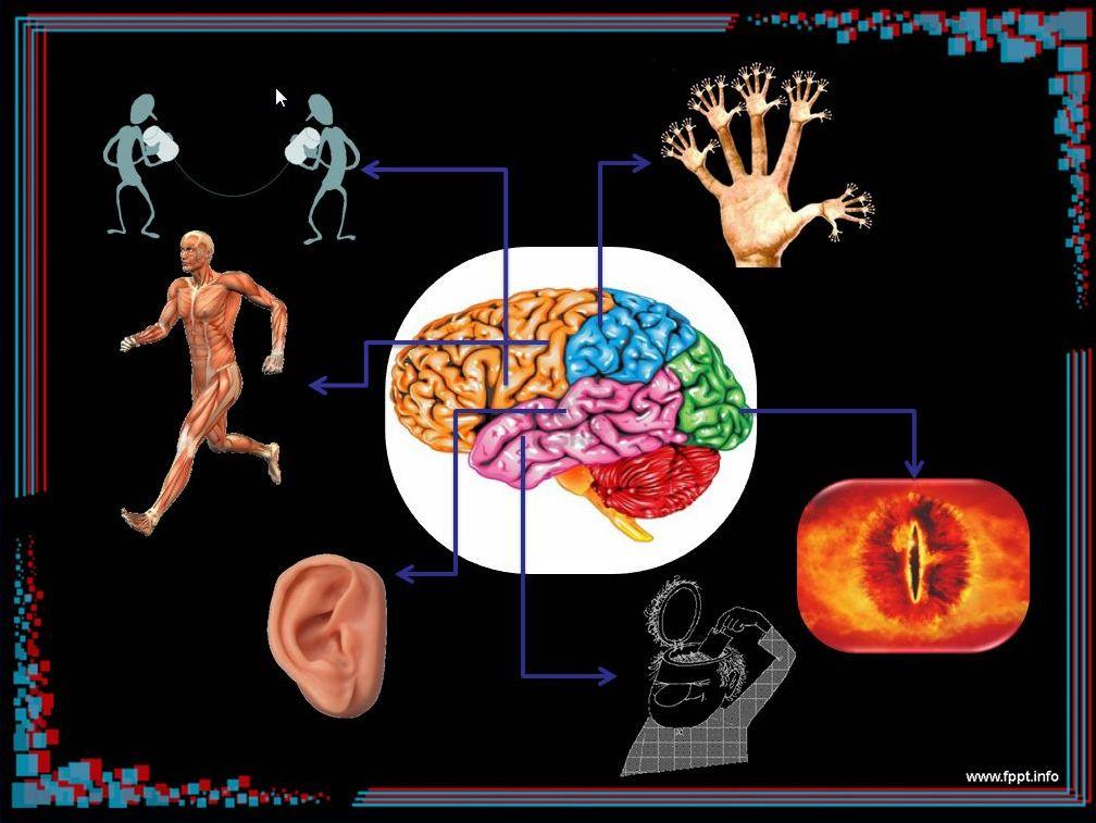 Increíble Anatomía Y Fisiología Del Cerebro Ppt Inspiración ...