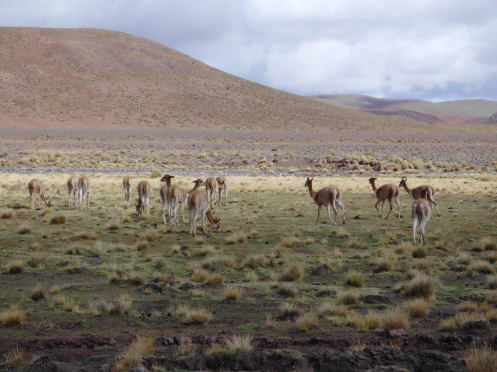 Bicunas, animals of the family of the lamas