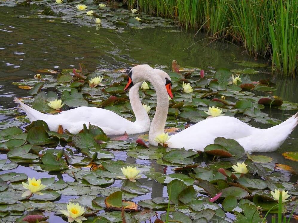 Belos cisnes em um dos lagos, em posição perfeita para os apaixonados!