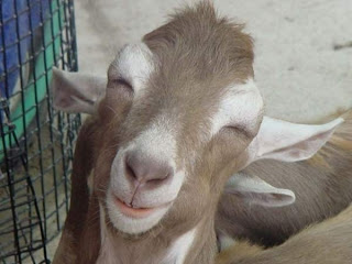 Funny Goat Pictures
