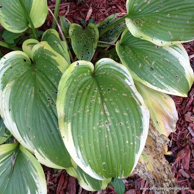 Slug damage on hosta leaves