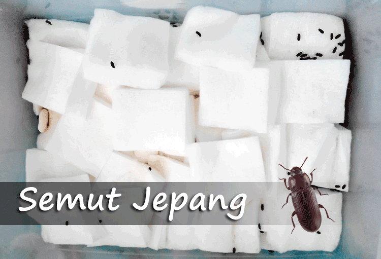 Cara Budidaya, Khasiat, Dan Konsumsi Semut Jepang Untuk Kesehatan
