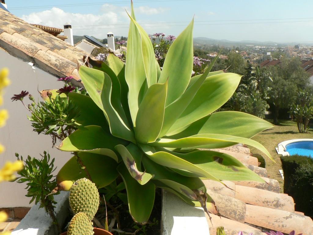 Flora de la costa del sol occidental silvestre y for Una planta ornamental