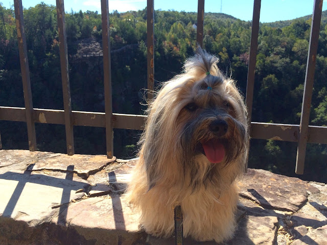 Rocco Havanese at Talulah Gorge Hiking with Dogs in George