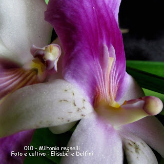 Miltonia regnellii do blogdabeteorquideas