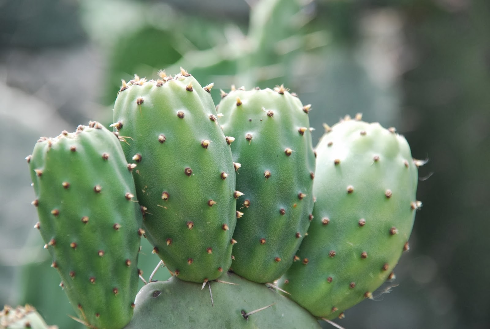 fruit flies cactus fruit