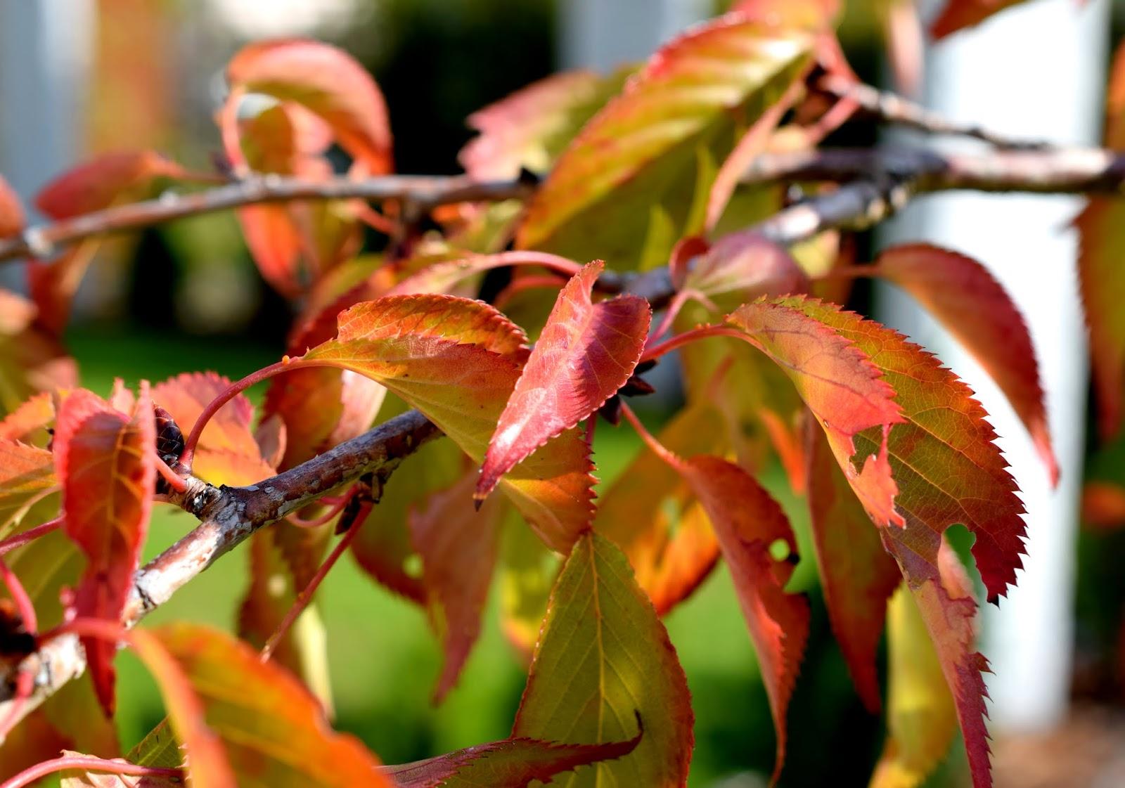 Herbst Japanische Zierkirsche