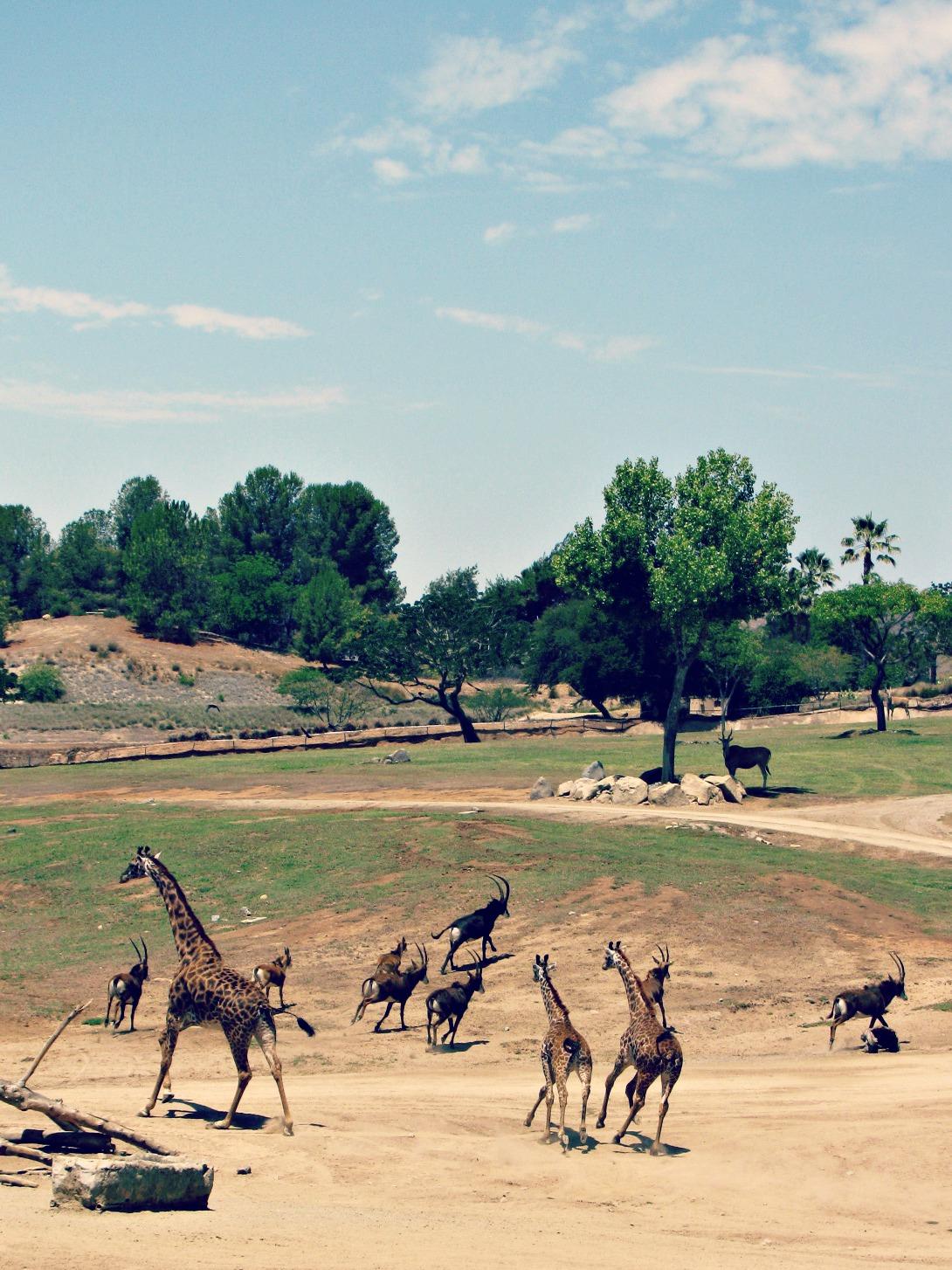 San Diego Safari Park // African Stampede