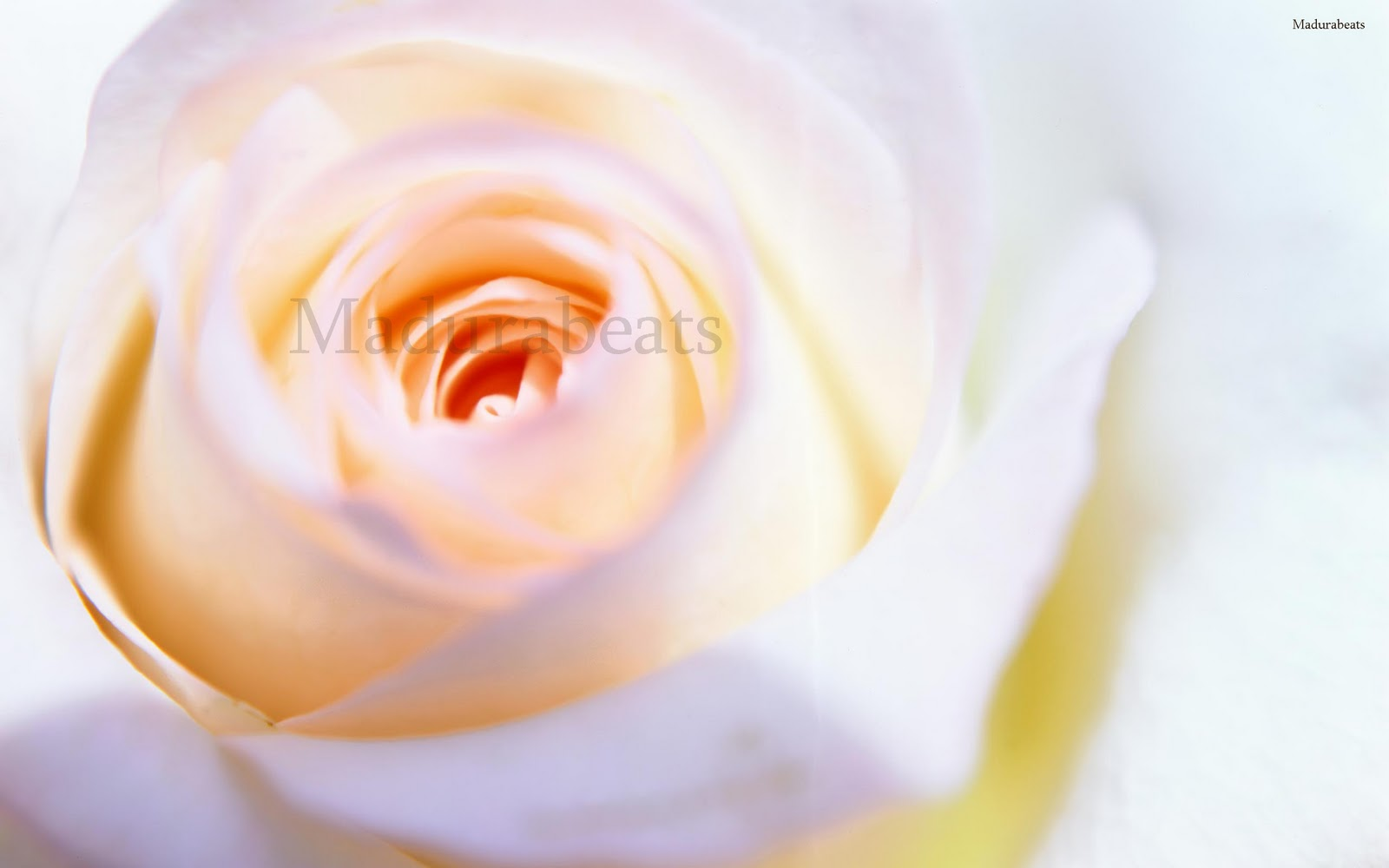 Flower images, Wide screen wallpapers,Gifts_Rose_flower_head_wallpaper1