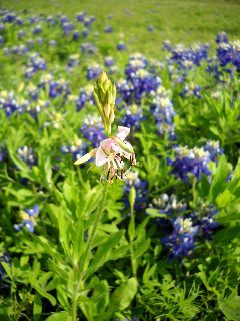Wildflowers in bloom at White Rock Lake, Dallas, Texas
