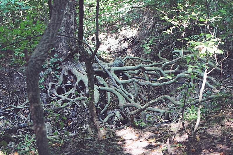 Sycamore tree roots in Redbud Valley