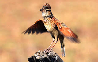Foto Burung Branjangan