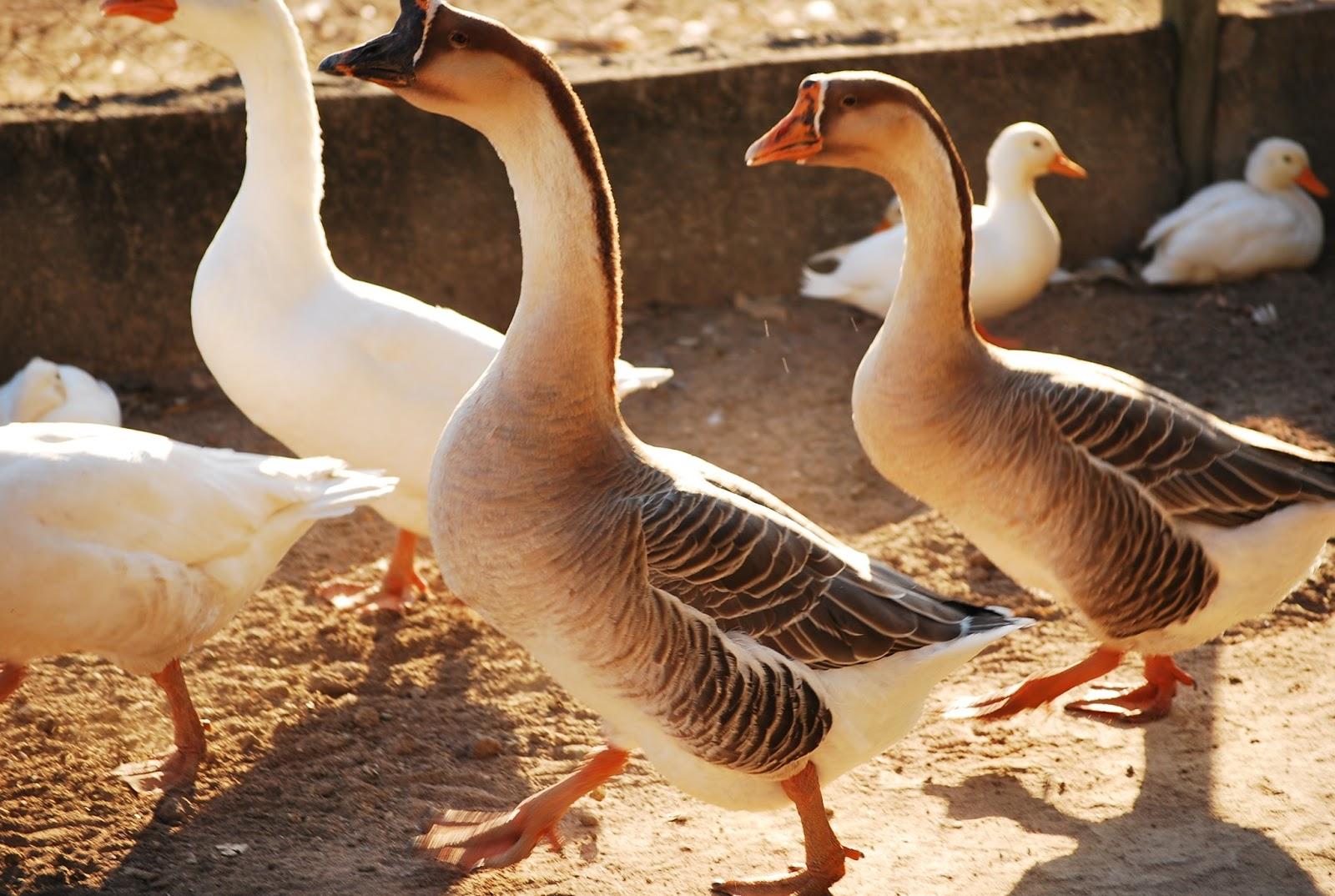 fazenda virada aves aquáticas