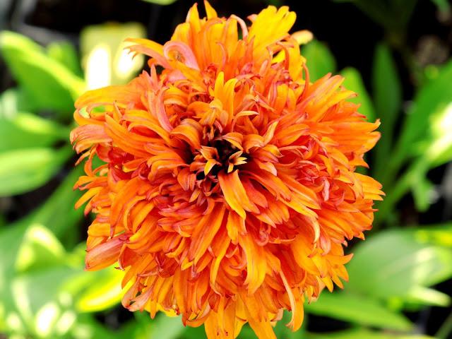 echinacea czyli jeżówka