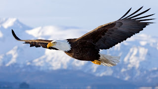 eagle living creatures