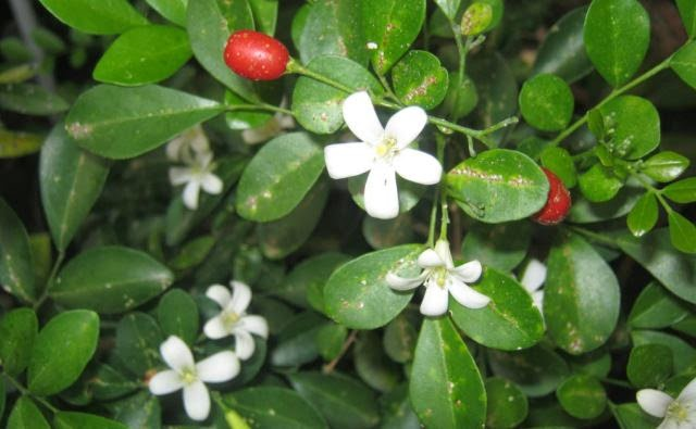 Jual pohon kemuning | suplier tanaman | jasa desain taman