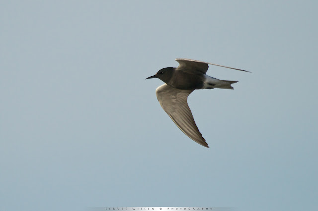 Zwarte Stern - Black Tern - Chlidonias niger