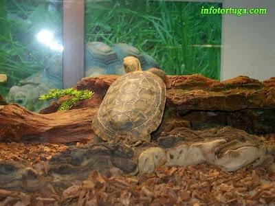 Malacochersus tornieri - Tortuga de las grietas