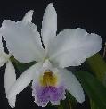 C. gaskeliana caerulea