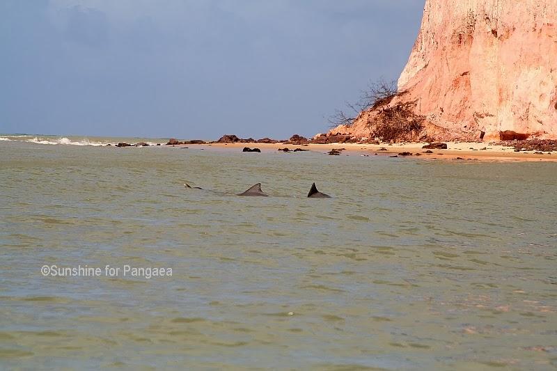 Grey Nose Dolphin (Sotalia guianensis)