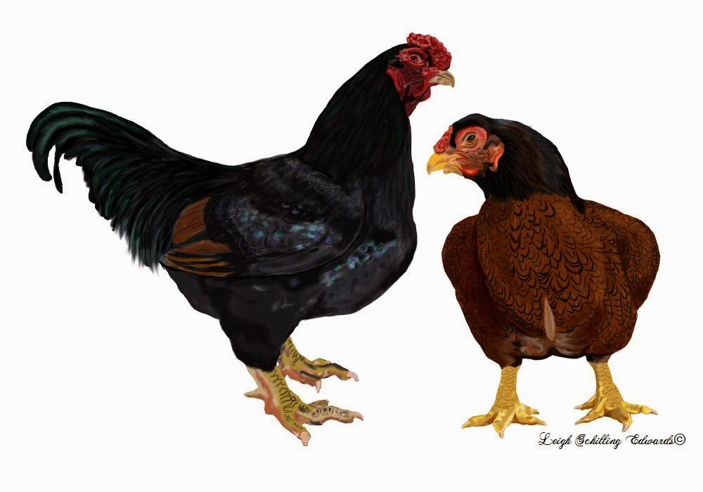 Dark Cornish Chicken Dark Cornish
