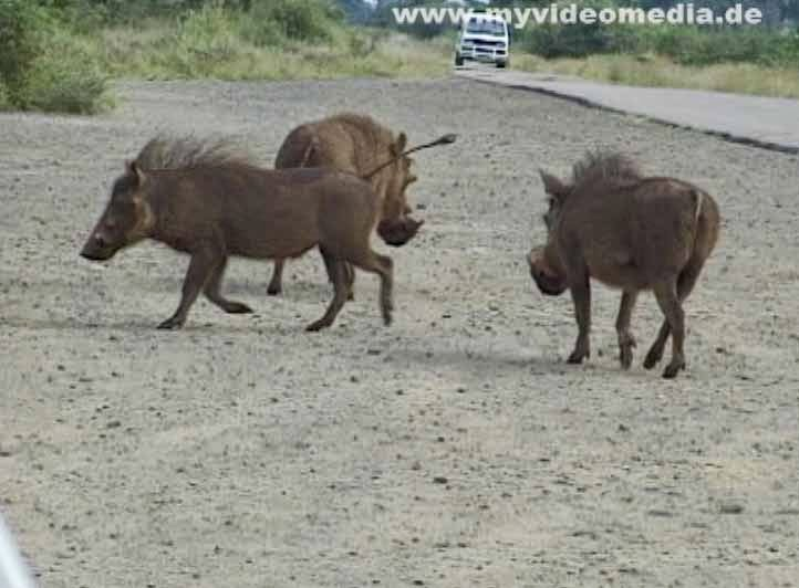 Wild boar in Kruger National Park
