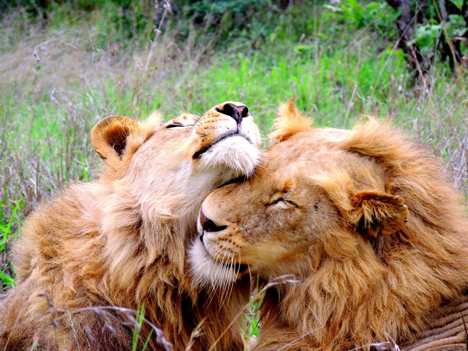 Honey badger vs lion testicles - photo#26