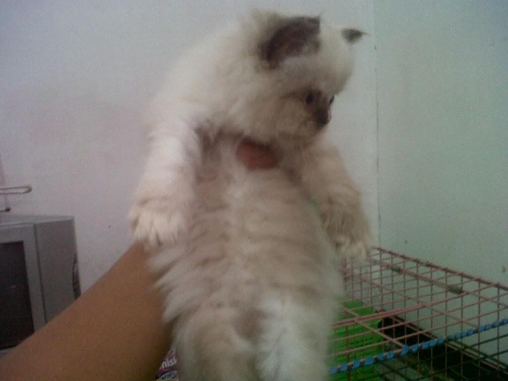 Jasa Penjualan Kucing Persia Si Embul