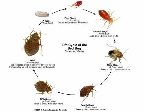 What Do Bed Bug Bites Look Like Tips On How To Cure Bedbug Bites