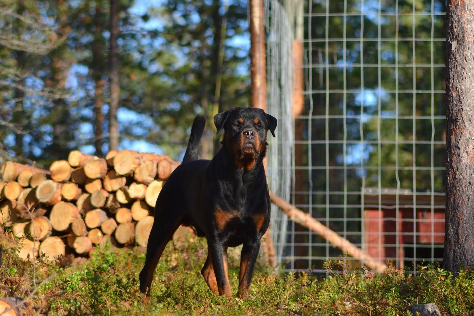 Rottrobis Amazing Bo (Otto)