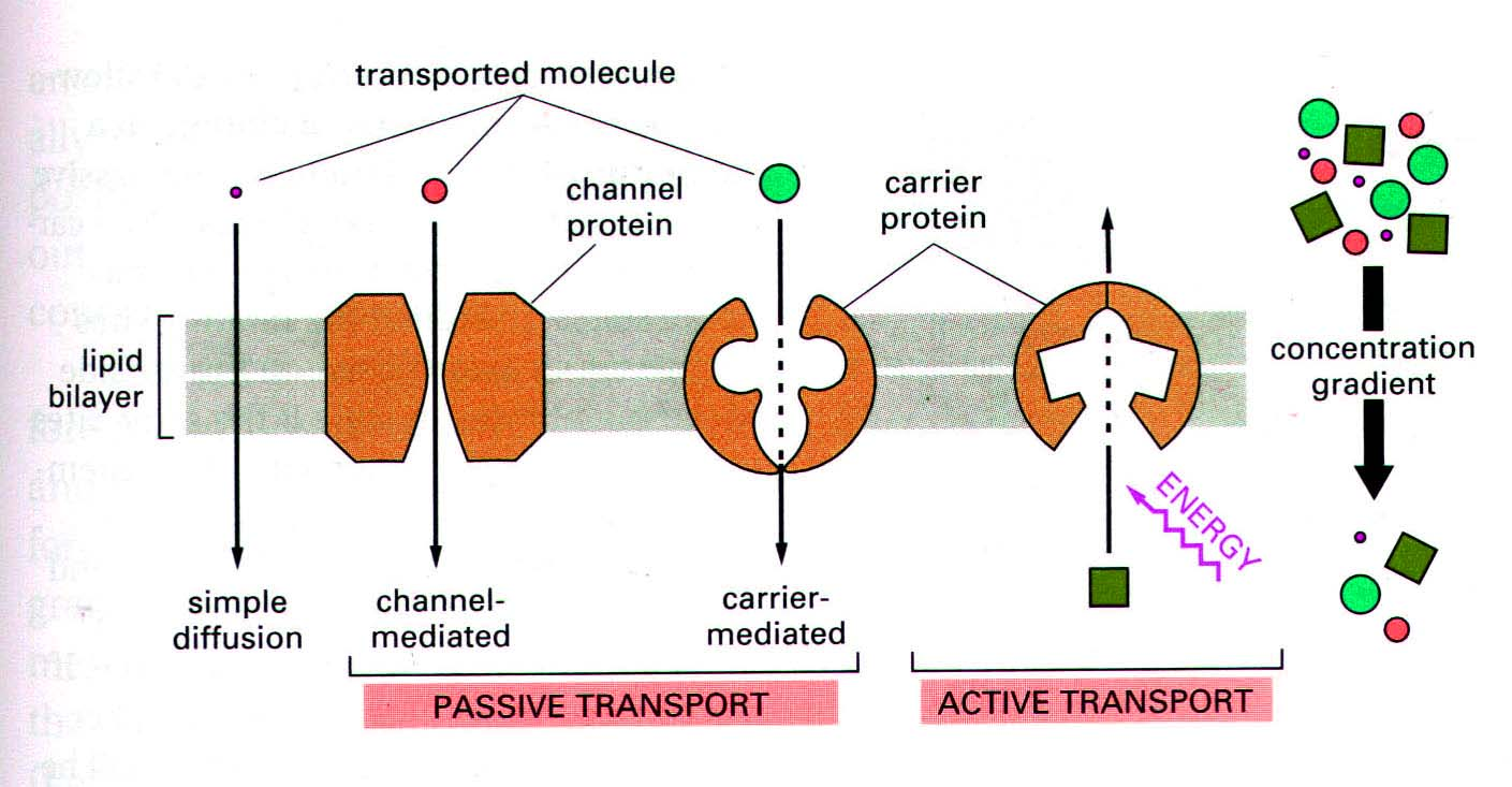 the different cell membrane transport mechanisms
