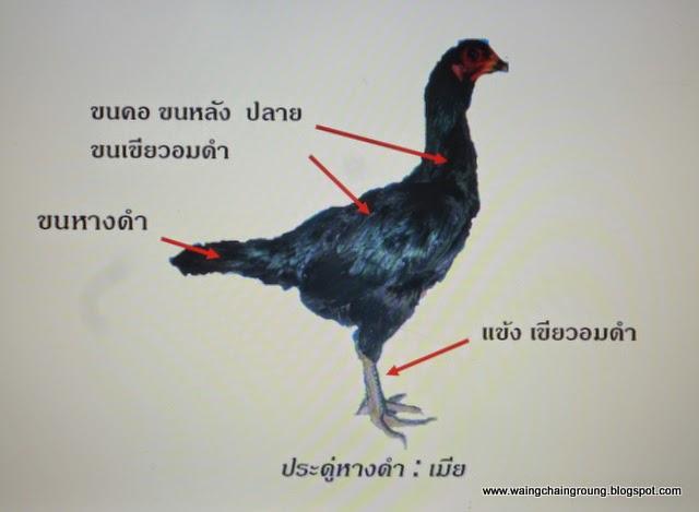 ไก่ประดู่หางดำเพศเมีย