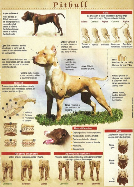 Caracteristicas y anatomia del APBT - Perros Game