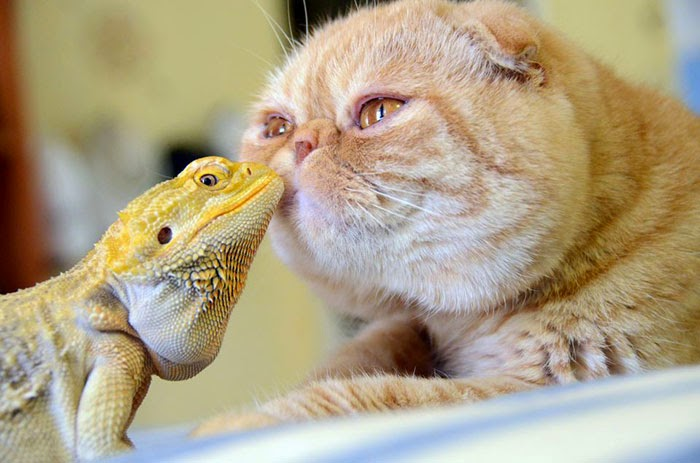 #20 Bearded Dragon And Cat - Unusual Animal Friendships That Are Absolutely Adorable!