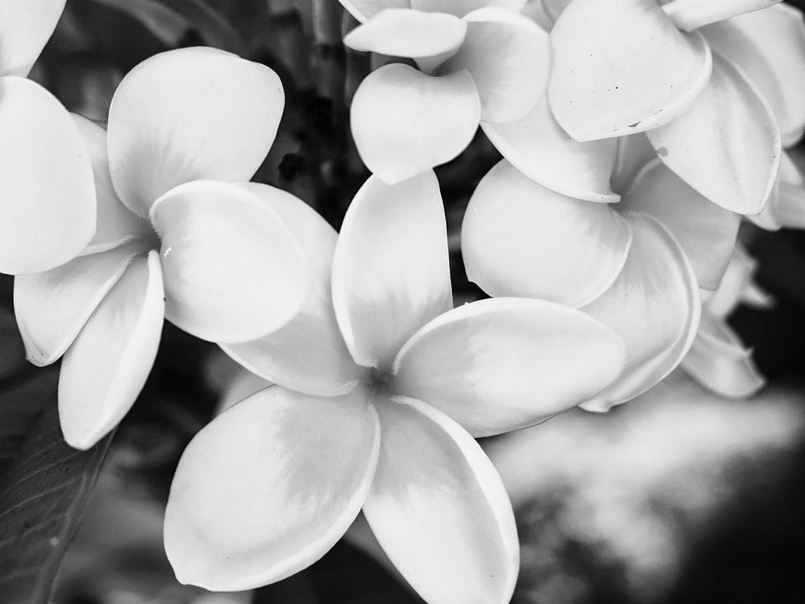 Цветы чёрно-белые