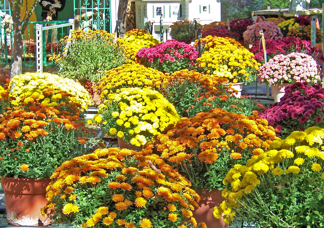 Autumn flowers - Flowers that bloom in autumn ...