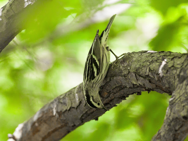 Black and White Warbler - Central Park, New York