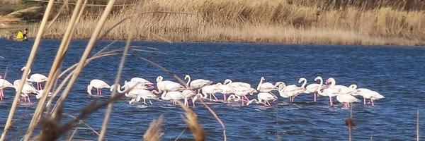 Flamingos, Lake Korrison, Corfu